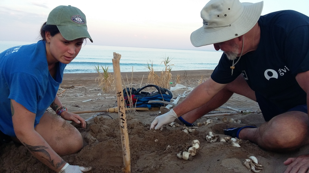 Guide and voluntree excavating a turtle nest on the beach