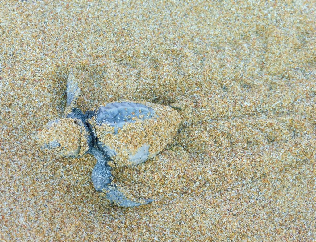Turtle hatchling making tracks to the sea