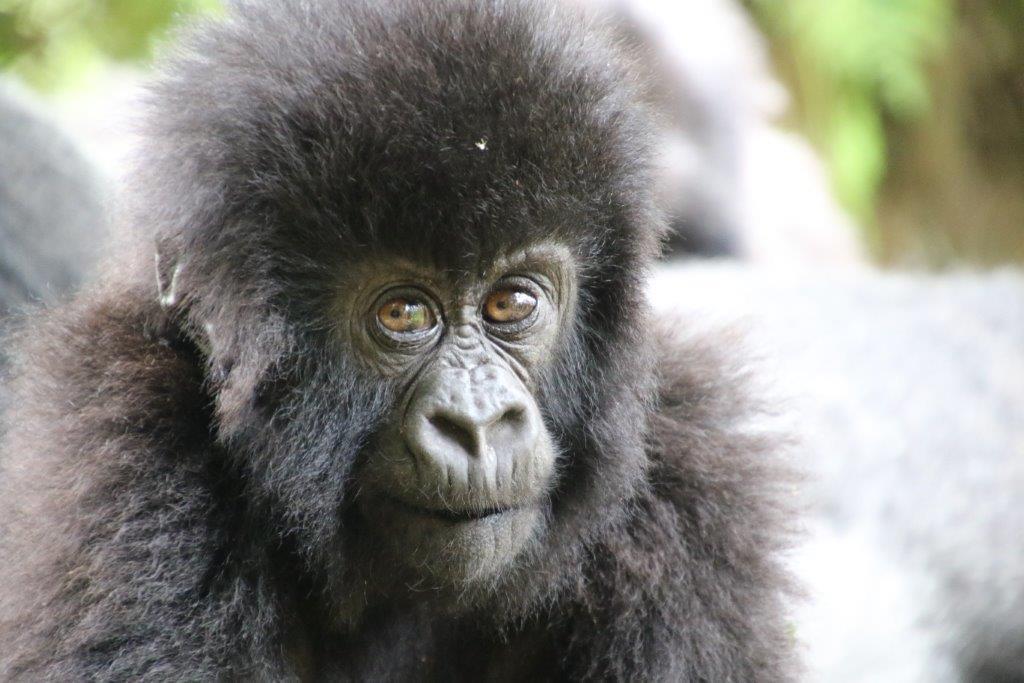 Baby Gorilla front