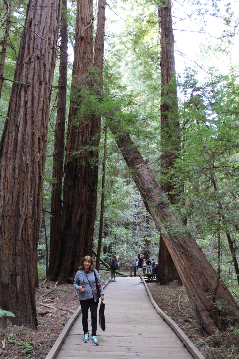 Cathy is dwarfed by the giant Redwood trees in the Muir Woods.