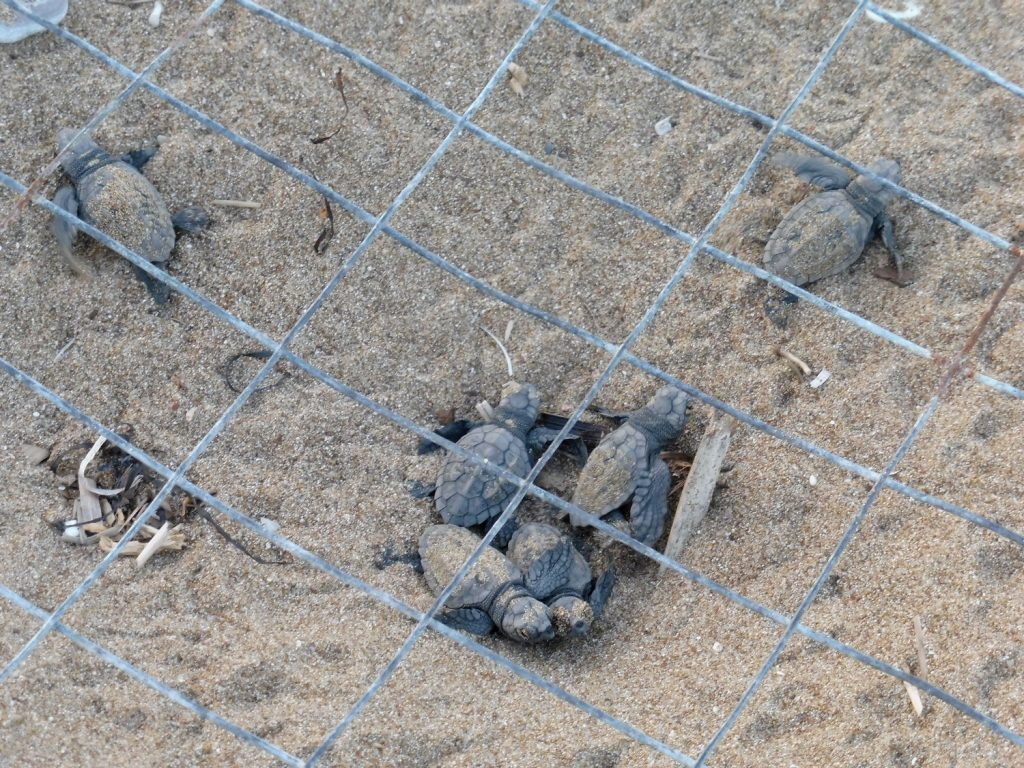 Turtle hatchlings emerging from the nest